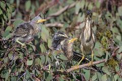 Green Heron feeding time (Ken Phenicie Jr.) Tags: greenheron chicks begging feeding milpitas