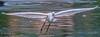 Spread (JKmedia) Tags: water conwy bird aquatic waterfowl avian waders lake rspb wales fish food boultonphotography 2017 littleegret egret wader inflight