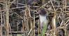 Stoat (KHR Images) Tags: stoat mustelaerminea wild carnivorous mammal mustelid mustelidae lakenheath fen suffolk rspb reedbed nature wildlife nikon d500 kevinrobson khrimages