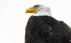 Bald Eagle- The King (Explored) (Noble Bunny) Tags: birds bald eagle raptor prey