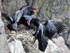 Hungry Crew in the Crow's Nest (Insearchoflight) Tags: wildlife crowsnest crows ravens stjohns newfoundlandandlabrador signalhill hungrybirds avianwonders avianbeauty birdsofafeather