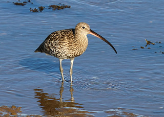 Curlew 2 WNTS 13th Sept 2017