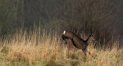 Roe deer (jonathancoombes) Tags: roe deer leigh wildlife nature grass explore jump leap animal mammal ngc