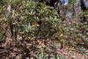 Swamp Banksia (Banksia paludosa subsp paludosa) ([S u m m i t] s c a p e) Tags: banksiapaludosa bluemountains leura mthayroad proteaceae swampbanksia nativeplants summer