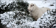 It's all about me me me! (neryshaynes) Tags: sheep mountain farming welsh wales defaidcymraeg eithin gorse yfoel livestock