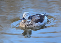 Long-tailed Duck (Neal D) Tags: bc abbotsford willbandcreekpark bird duck longtailedduck clangulahyemalis