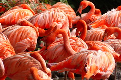 Flamingos (ivlys) Tags: deutschland allemagne germany walsrode vogelpark flamingo vogel bird natur nature spiegelung reflection ivlys
