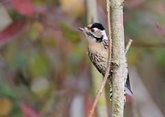 Pic épeichette (Michel Idre - 7 millions de vues merci) Tags: oiseau bird aves plaisance du touch haute garonne pic épeichette