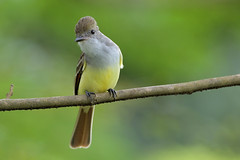 Brown-crested Flycatcher (Greg Lavaty Photography) Tags: browncrestedflycatcher myiarchustyrannulus costarica october alajuela arenal tropical tropics neotropical photographytour birdphotography outdoors bird nature wildlife