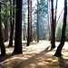 New Forest trees (howard1916 - Something for everyone!) Tags: