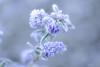 Kiareimaginations   49 (kiareimages1) Tags: ceanothusprostratus flowers arbusteàfleurs arbustiafiori autumn macro macroflowers macrophoto imagery colors imagespastel colorspastel kiareimaginations