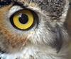 look me in the eye (pontla) Tags: greathornetowl owl eye macro audubonwildlifesanctuary owleye