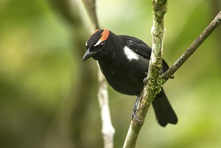 Scarlet-browed Tanager (male) / Heterospingus xanthopygius / Chambergo Cuernirrojo (macho)