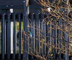 Kingfisher (Laura.Kerr) Tags: kingfisher bird wildlife alcedoatthis