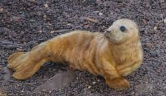 Young Seal Pup (rdtoward21) Tags: seals sealpup greyseal wildlife