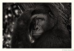 Universal Sign for Not Tonight (Robert Streithorst) Tags: cincinnatizoo female gorilla robertstreithorst zoosofnorthamerica