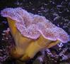 Sea Anemone (petechar) Tags: monopod petechar charlesrpeterson livingplanetaquarium draper utah animal invertebrate aquarium panasonicgh5 leica1260mm seaanemone cnidaria anthozoa underwater