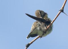Itchy Armpit? -- Anna's Hummingbird -- Female (Calypte anna); Catalina, AZ [Lou Feltz] (deserttoad) Tags: nature arizona bird wildbird songbird hummingbird desert flight flower bloom ocotillo