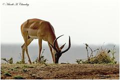 The Ram! (MAC's Wild Pixels) Tags: theram impala maleimpala aepycerosmelampus antelope grazer browser herbivore busyfeeding wildlife africanwildlife wildafrica animal wildanimal outdoors nature outofafrica safari gamedrive sunrise goldenlight goldenhour nairobinationalpark nairobi kenya macswildpixels horns coth5 ngc sunrays5 npc