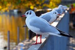 Fly (Sharon) (ej - light spectrum) Tags: gull möwe vogel bird bokeh olympus omd em10markii autumn herbst herbstfarben mzuiko macro makro schweiz switzerland november 2017 seagull zürich zurich limmat