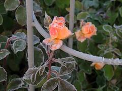 gefrorenes Röschen (Sophia-Fatima) Tags: mygarden meingarten naturgarten gardening rose frost
