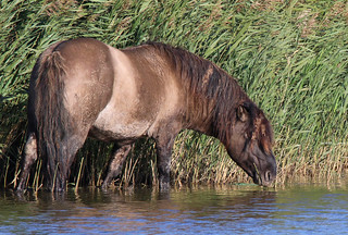 Konik Pony grazing in Reedbeds