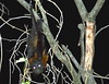 Australian native bat Flying Fox - 2017 (3) (nicephotog) Tags: australia native bar flyingfox carnivore omnivore nocturnal night