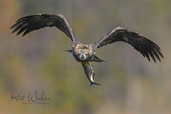 TA DA!! (ThruKurtsLens.com) Tags: 2017 baldeagle eagle fallcolors fish flying kurtwecker nature naturephotographer talons thrukurtslenscom wildlifephotographer wildlifephotography