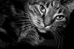 Strucki (Von Noorden) Tags: noiretblanc einfarbig black white blackandwhite bw sw schwarzweiss topv germany schwarz weiss weis schwarzweis monochrome cat cats pet katze hauskatze pussy feline felid jack lucky moggie moggy tappy trolley eye eyes cateye cateyes baudron purring purr paw paws nose ear ears catear whisker whiskers tail catlady kater tomcat meow pattern mittens smittens smitten pet1000