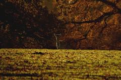 Curious deer (smcnally24601) Tags: deer surrey morning autumn fall nature sunny england english britain british