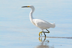 SNOWY EGRET (concep1941) Tags: birds egretfamily shallowwaters