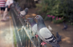Paris: Pigeons of Notre-Dame (McFarlaneImaging) Tags: 100 2015 35mm a1 asa100 analog birds canon cathedral ektar europe eurotrip fd feeding film france fromage iso100 kodak mci notredamedeparis paris pigeons slr tourists travel vacation mcfarlaneimagingcom