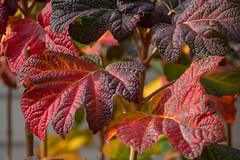 Sunlit Hydrangea (Dave In Oregon) Tags: oakleafhydrangea plants oregon sunlight walnuthill fallcolor