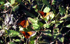 Monarchs on a toyon (TJ Gehling) Tags: insect lepidoptera butterfly nymphalidae monarch monarchbutterfly danaus danausplexippus plant shrub rosales rosaceae toyon heteromeles heteromelesarbutifolia overwintering albanyhill albanyca