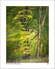 Poor Relation (Chalky666) Tags: tree trees wood woodland forest autumn beech painterly landscape art leaves wiltshire