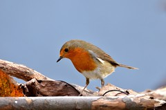 Robin (MICHELGAILLARD) Tags: