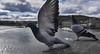 Start (Froschkönig Photos) Tags: start abflug prag karlsbrücke taube flügel vogel bird wings arrow jumbo