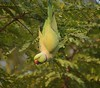 EXPLORED PARROT ACROBATICS (Vidya...) Tags: parrot upside down stare green feathers wings