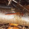 2017_11_0230 (petermit2) Tags: commondarterdragonfly commondarter darter dragonfly hatfieldmoors hatfield lindholme doncaster southyorkshire yorkshire peat bog humberheadpeatlands humberhead naturalengland nnr