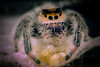 Momma say's back up. (learnliveinspire) Tags: spider bug natgeo insect phidippus animals beautiful wild nature wildlife love earth eggs mom web teeth fangs spiders macro macros