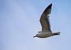 IMG_1706  Gaviota. (blanferblanc) Tags: gaviota alas vuelo cielo azul ave mar ala pico cola