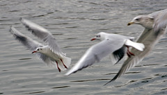 The chase (Gill Stafford) Tags: gillstafford gillys image photograph wales northwales conwy pentremawr abergele park bread food birs gulls