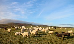 Flocktastic (RoystonVasey) Tags: canon eos m 1855mm zoom north yorkshire dales ydnp wensleydale sheep field