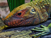Dinosaur (Caiman Lizard) (tubblesnap) Tags: chester zoo animals fuji xs1 tubblesnap caiman lizard dracaena guianensis