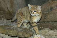 Sand cat (ucumari photography) Tags: ucumariphotography sandcat animal mammal nc north carolina zoo november 2017 dsc0277