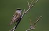 Golden-crowned Sparrow (Cameron Darnell) Tags: sparrow golden animal twig green branch nome ak alaska june trip bird birds avian birding wild wildlife photo photography nature sunny sun remote songbird cameron 2017 tamron canon zonotrichia