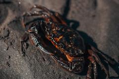 crab (Agustin Antunez) Tags: argentina cangrejo animales crab chubut patagonia canon playa beach macro portrait retrato arena