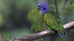 Blue-headed Parrot (Pionus menstruus) (andresdelgado88) Tags: