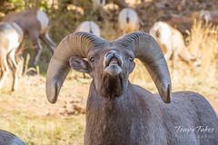 Bighorn Sheep ram displaying the flehmen response