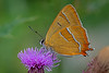 Thecla betulae - the Brown Hairstreak (BugsAlive) Tags: butterfly butterflies mariposa papillon farfalla schmetterling бабочка animal outdoor insects insect lepidoptera macro nature lycaenidae theclabetulae brownhairstreak theclinae wildlife dorset alnersgorsenr liveinsects uk